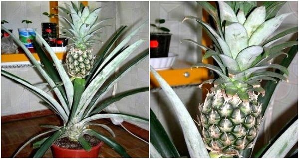 this is how you can successfully grow pineapples indoors. Black Bedroom Furniture Sets. Home Design Ideas
