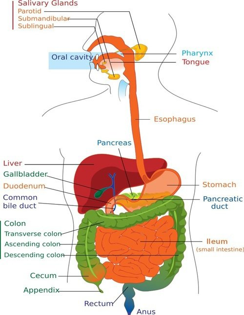 Digestion Diagram