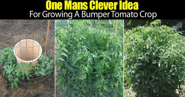 one-manas-genius-idea-to-grow-tomatoes